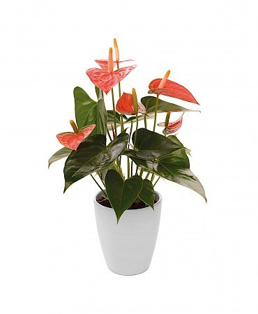 Anthurium Prince of Orange 10,5cm Oranje
