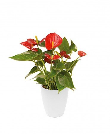 Anthurium Diamond Red 10,5cm rood