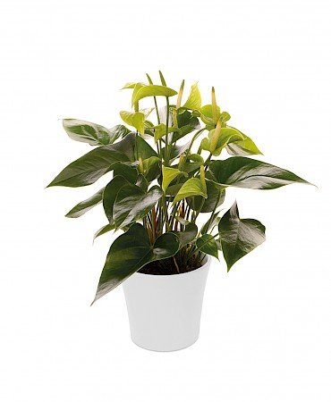 Anthurium Alexia Jade 14cm green