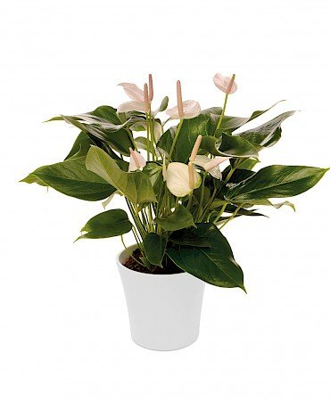 Anthurium Alexia Snow 14cm white