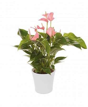 Anthurium Anthedesia Pink 14cm roze