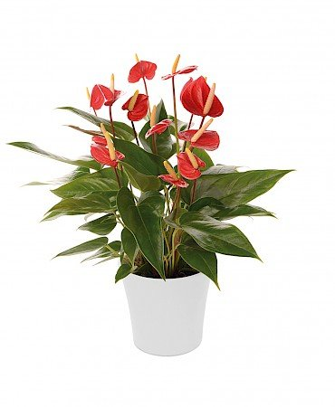 Anthurium Ariane Red 14cm red