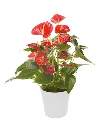Anthurium Diamond Red 14cm red