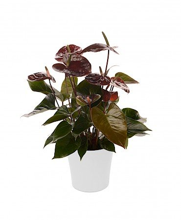 Anthurium Giant Chocolate 14cm black brown