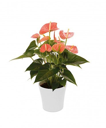 Anthurium Prince of Orange 14cm orange
