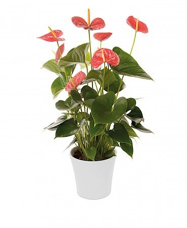 Anthurium Red Winner 14cm red