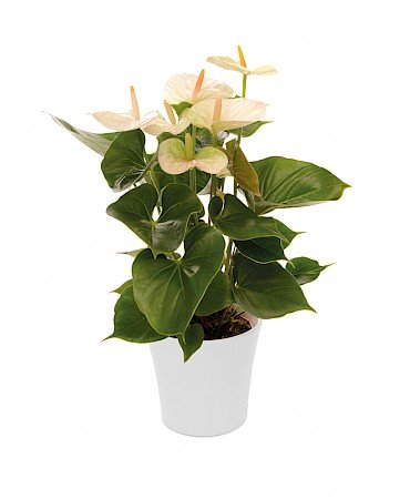 Anthurium Success White 14cm white