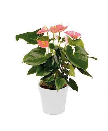 Anthurium Alabama Pink 17cm rose