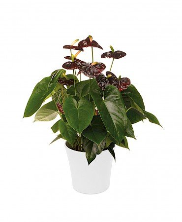 Anthurium Black Queen 17cm noir