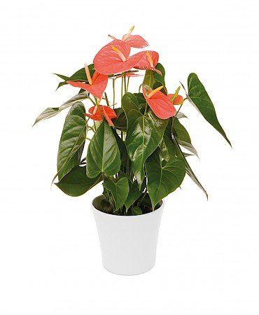 Anthurium Prince of Orange 17cm orange