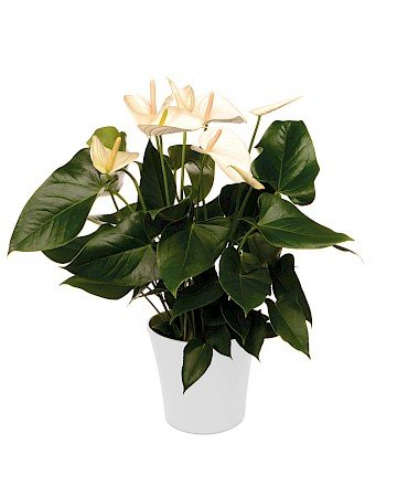 Anthurium White Winner 17cm blanc
