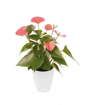 Anthurium Sweet Dream 10,5 cm roze