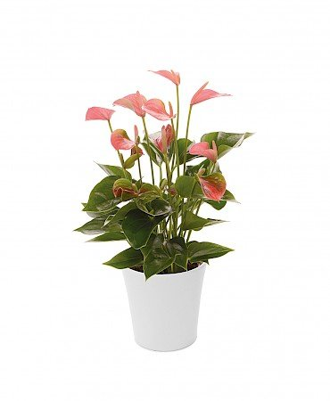Anthurium Anthedesia Pink 12cm roze